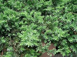 Juniperus conferta Blue Pacific1.jpg