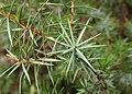Juniperus oxycedrus kz11 (Morocco).jpg