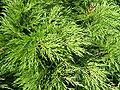 Juniperus sabina cult0.jpg