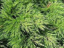 Jalovec chvojka wikipedie for Tipos de pinos para jardin