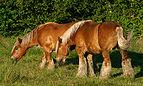 Jydske heste vorup enge.jpg