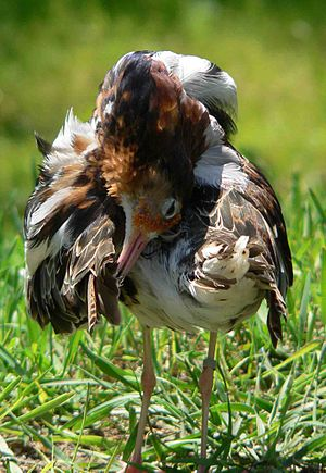 Ruff -  Territorial male in breeding plumage