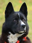 Karjalankarhukoira, Karelian Bear Dog, head with tracking collar.jpg