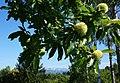 Kastanienfrucht in Friual Julisch Venetien, Italien.jpg