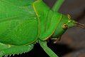 Katydid (Rhomboptera semilunata) close-up (8752403731).jpg