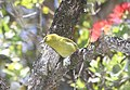 Kauai Amakihi (4-25-2018) Kokee State Park, Kauai, Hawaii -03 (26970408757).jpg