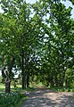 Kherson Botanical Garden of University 28 (YDS 2236).jpg