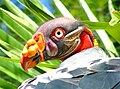 King Vulture at Colchester Zoo.jpg