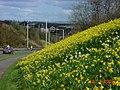 Kirkcaldy , Wester Bogie Road , Daffodils - geograph.org.uk - 92836.jpg