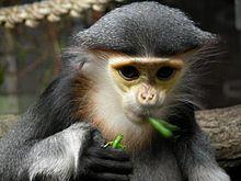 白臀叶猴属