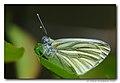 Klein geaderd witje - Green-veined White (4566690144).jpg