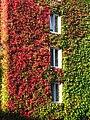 Kletterpflanzenbewachsene Hausfassade GO-1.jpg