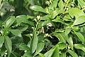 Kluse - Fortunella margarita - Kumquat 04 ies.jpg