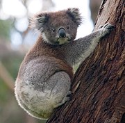 A koala holding onto a eucalyptus tree with its head turned so both eyes are visible