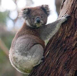 270px-Koala_climbing_tree.jpg