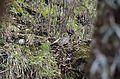 Koklass Pheasant Pucrasia macrolopha male JEG0178.jpg