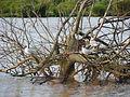 Kokmeeuwen in het verdronken bos.JPG