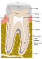 Kompletna struktura zuba.png