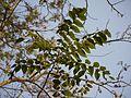 Konda Vepa (Telugu- కొండ వేప) (5522453646).jpg