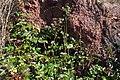 Korina 2015-03-29 Mahonia aquifolium 8.jpg