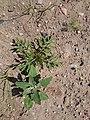 Korina 2015-08-01 Ambrosia artemisiifolia.jpg