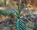 Kruisbladige wolfsmelk (Euphorbia lathyris) (d.j.b.).jpg