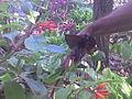 L'orchidée Chauve Souris.jpg