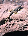 LIZARD, EASTERN COLLARED (Croyaphytus collaris) utah (14833028573).jpg