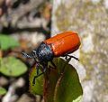Labidostomis taxicornis. Female. Chrysomelidae - Flickr - gailhampshire.jpg