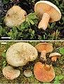 Lactarius deliciosus (10.3897-mycokeys.15.9587) Figure 22.jpg