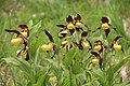 Lady's-Slipper Orchid - Cypripedium calceolus - panoramio (69).jpg