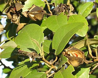 Lagunaria - Leaves and fruit