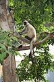 Langurs 3, Rajasthan, India.jpg