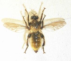 Gelbe Raubfliege (Laphria flava), Männchen