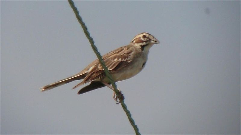 File:Lark Sparrow (8288084629).jpg