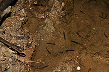 Larvae of T asperimus in Pia Oac, Cao Bang.jpg