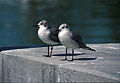 Laughing Gull(js).jpg
