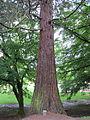 Laurelhurst Park, Portland - Sequoiadendron giganteum 2012.JPG