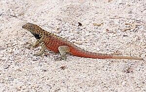 Microlophus - Microlophus delanonis, male, endemic to Española Island