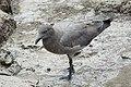 Lava gull (40847192623).jpg