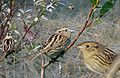 LeContes Sparrow From The Crossley ID Guide Eastern Birds.jpg