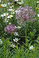 LeamingtonSpa StationGarden Alliums.JPG