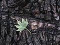 Leaves in iran برگ گلها و گیاهان ایرانی 31.jpg