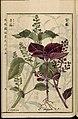 Leiden University Library - Seikei Zusetsu vol. 25, page 009 - 青蘇 - Perilla frutescens (L.) Britton, 1804.jpg