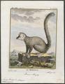 Lemur mongoz - 1782 - Print - Iconographia Zoologica - Special Collections University of Amsterdam - UBA01 IZ19700061.tif