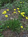 Leontodon saxatilis plant3 (14632817345).jpg