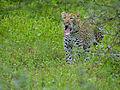 Leopard (Panthera pardus) yawning (12906719485).jpg