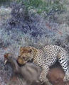 Leopard Kills Warthog in Burrow Latest Wildlife Sightings HD 5.png