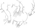 Lepeophtheirus elegans parasite130014-fig7.tif