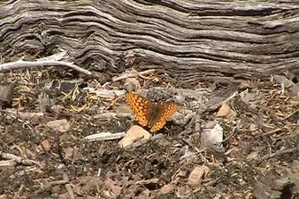 File:Lepidoptera (Butterfly).ogv